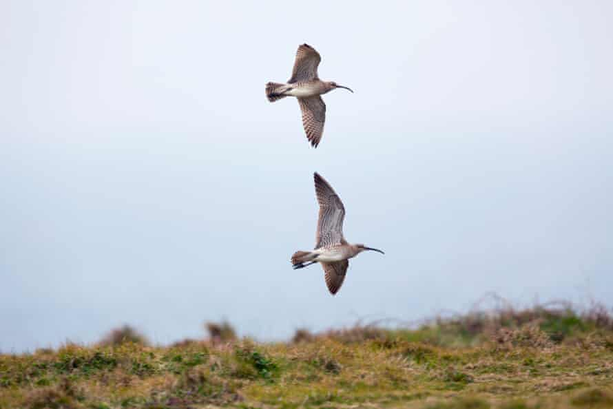 Whimbrel in flight, Cornwall.