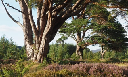 The view from the tent door – veteran trees and younger pines in Glen Feshie.