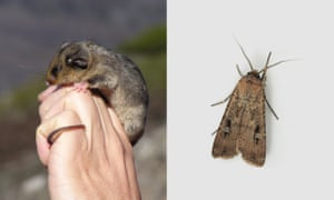 Prolonged drought has led to a decline in bogong moths in the Australian alps, in turn threatening the endangered mountain pygmy possum that feed on the moths.