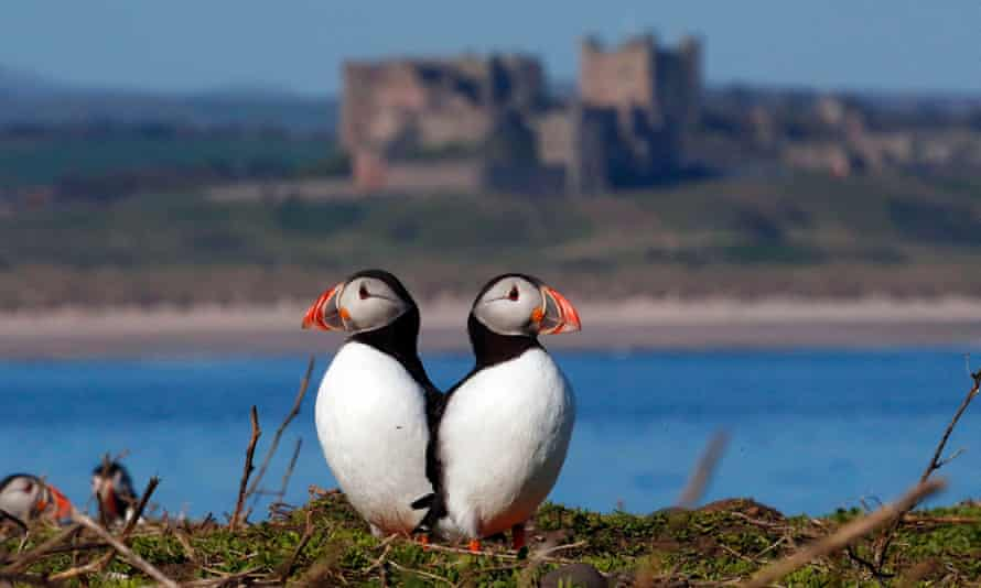 Puffins join shags and guillemot birds on the Farne Islands, one of Britain's most important seabird colonies