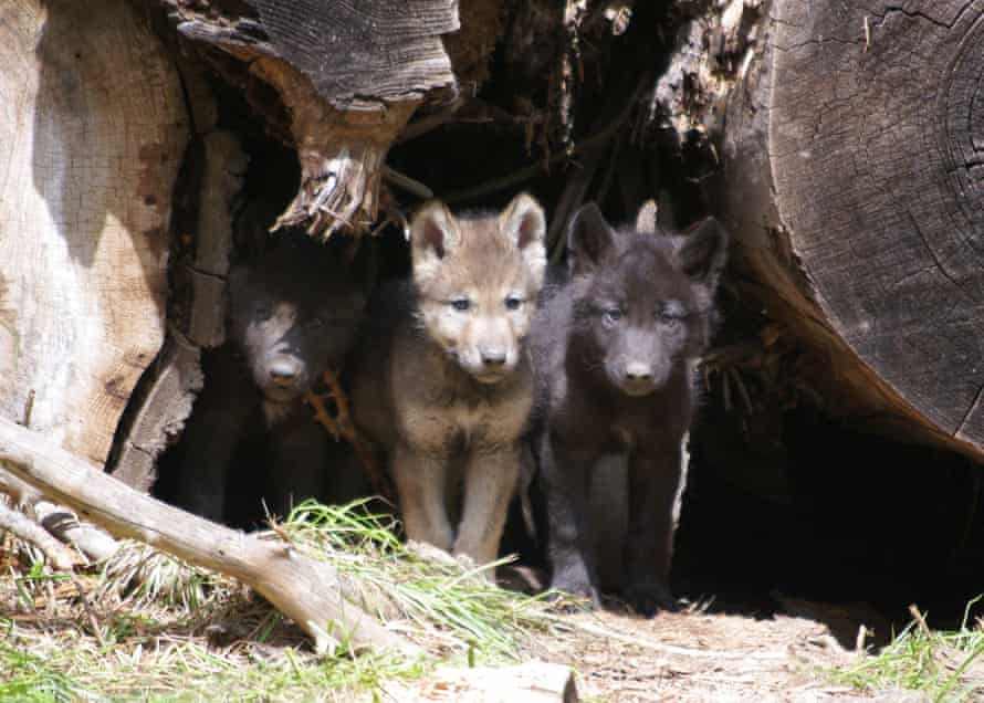 Wolf pups from the Wenaha pack.