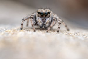 A distinguished jumping spider, one of the species found on the Swanscombe Peninsula.