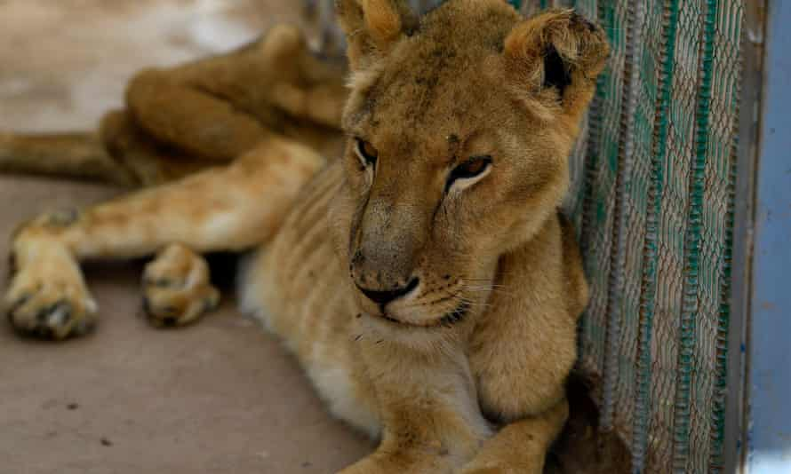 One of the malnourished lions sits in her cage at the Al-Qureshi park in the Sudanese capital of Khartoum.