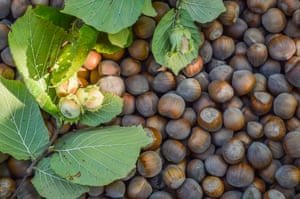 hazelnuts with twig and leaves