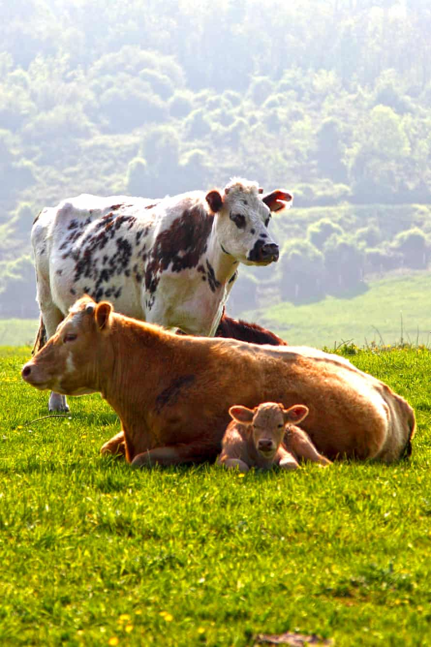 Cows in Normandy.