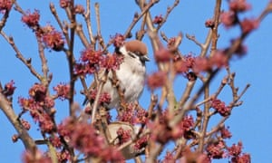 A tree sparrow, feeding on wych elm flowers