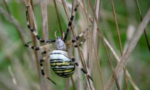 Elian Day's wasp spider <em>(Argiope bruennichi).</em>