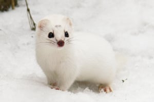A weasel in its white winter coat in the Białowieża Forest, Poland