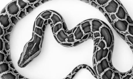 Python wars: the snake epidemic eating away at Florida