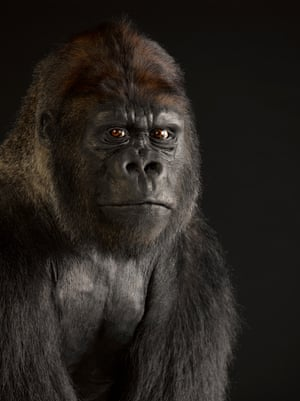 Gorilla – endangeredGorillas are the biggest primates. They weigh up to 181kg. They use knuckle-walking when moving on all fours, using their hands to extend their arm length. Their arms are much longer than their legs so that they can also swing when climbing.