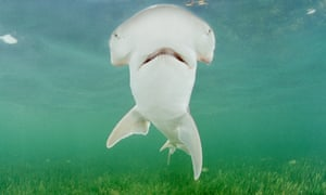 first known omnivorous shark species identified environment the