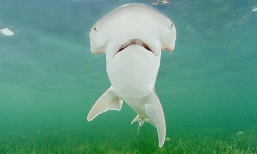 A bonnethead shark, seen off Key Largo, Florida.