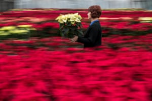 Prague, Czech Republic A gardener carries poinsettia at the Silva Arauca Research Institute for Landscape and Ornamental Gardening greenhouse. Around 15,000 of the traditional Christmas flowers will be delivered from the institute to shops in the region.