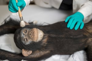 Preston, UK: A natural history conservator works on a stuffed chimpanzee, which is more than 100 years old, as part of a a major conservation and preservation project for the Grant Museum of Zoology Grant Museum of Zoology and Comparative Anatomy