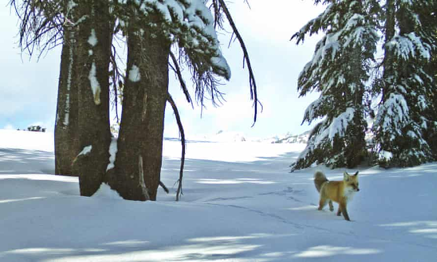 A lawsuit filed by the Center for Biological Diversity led to the protection of the Sierra Nevada fox under the Endangered Species Act.