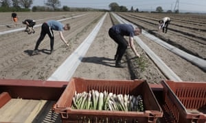 Twin brothers Jack Darke and Tom Darke cutting asparagus at Sand Hutton farm in Yorkshire.