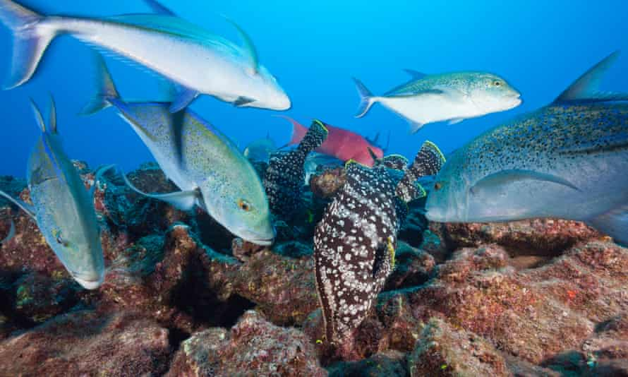Bluefin trevally and leather bass off Socorro Island, Revillagigedo archipelago