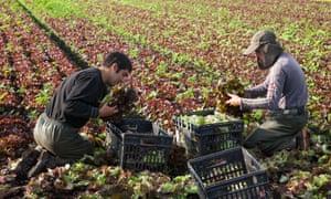 Portuguese migrant labourers picking lettuce at Tarleton, Lancs.