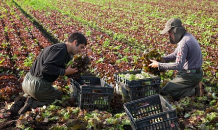 Migrant workers harvest lettuce at a market garden in Lancashire.