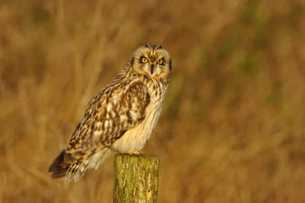 A short eared owl visiting the park en route from Iceland.