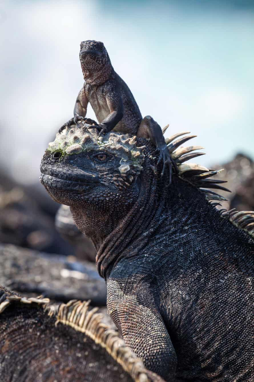 A hatchling marine iguana sits on the head of an adult