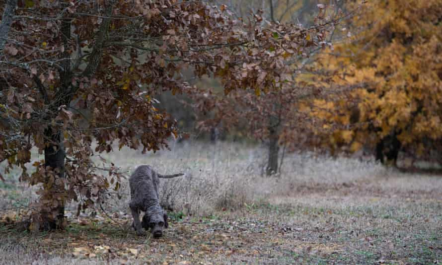 A truffle dog hunting in a forest of truffle oaks in Veyrines de Vergt near Sarlat, France.