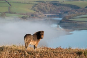 An Exmoor pony in the morning mist at Haddon Hill, Exmoor national park, with Wimbleball Lake in the distance.