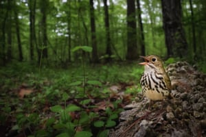 A male ovenbird singing on top of a fallen log. The bird is staking its claim to a breeding territory shortly after arriving from a lengthy migration to the northeast US from wintering grounds in Central America.