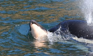 J35 swims with her calf's body.