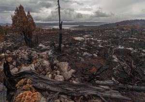Pencil pine devastation.