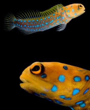 Wildlife photographer Danté Fenolio has headed into areas untouched by sunlight – deep seas, caves and underground - and found creatures that are nevertheless exploding with colour. First are these blue-spotted jawfishes, who live in tropical reefs in the eastern central Pacific Ocean, including the Gulf of California. They live in burrows, which they block themselves inside each evening. In the morning, they remove the debris so they can pass through the burrow opening again• Life in the Dark is out now, published by Johns Hopkins University Press