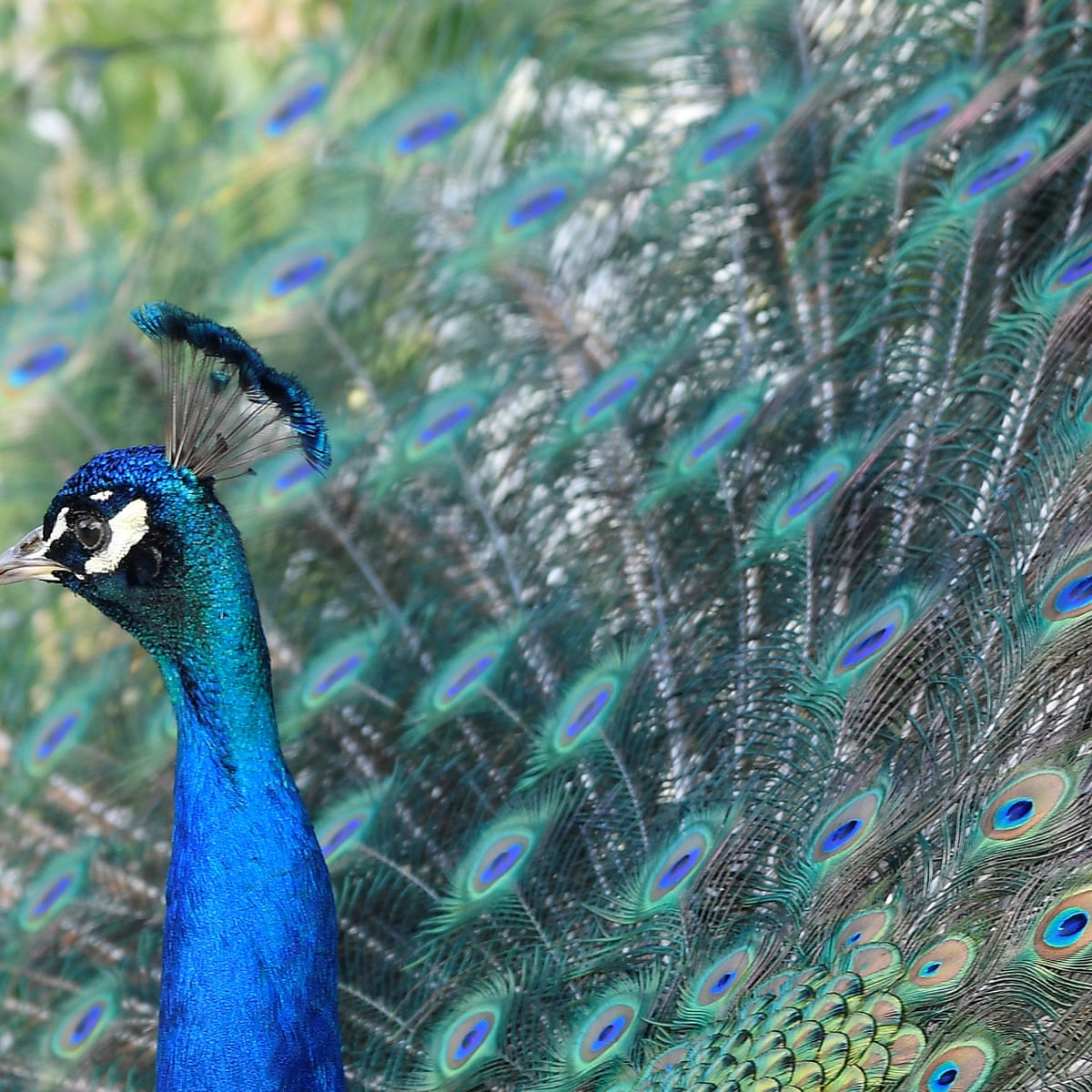 Ruffled Feathers Feral Peacocks Split Community In Canada Canada The Guardian