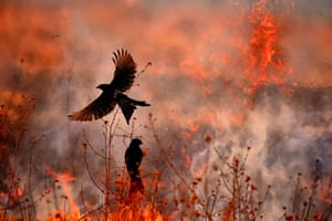 Feather in the Flames: Winged Life FinalistFarmers in Singur, West Bengal, India, burn off the stubble left after harvest, and black drongos swoop to eat the insects fleeing the flames.
