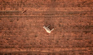 2019 was Australia's hottest year ever. A dead sheep lies in a dry and dusty field of a failed crop due to ongoing drought near Parkes, NSW