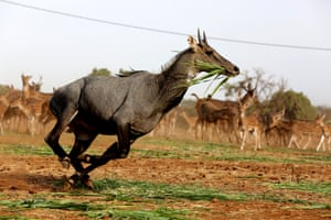 A nilgai or blue bull (Boselaphus tragocamelus) runs with grass in its mouth at the Van Vihar national park in Bhopal, India
