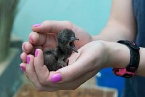 Little penguin (Eudyptula minor) chick