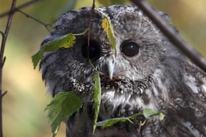 A wood owl nursed back to health in a wildlife rehabilitation centre and released into its natural habitat in the Troitsky and Novomoskovsky districts of Moscow, to mark World Animal Day on 4 October