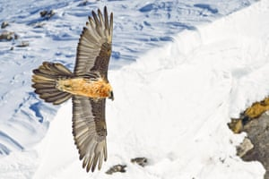 Bearded vultures in the Alps