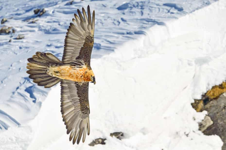 There are now a total of 250 bearded vultures in the Alps