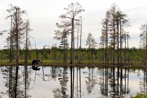 A lone bear wanders beside a lake in boreal forest in Kuikka, Finland