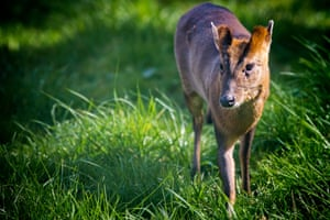 A muntjac deer seen in Birmingham.