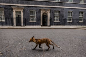 A fox runs through Downing Street