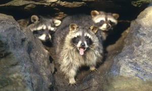 As many as 1 million raccoons are believed to have spread across Germany, threatening native wildlife and carrying parasitic diseases.