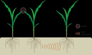 Illustration of above ground interactions between neighbouring plants by light touch and their effect on below-ground communication.