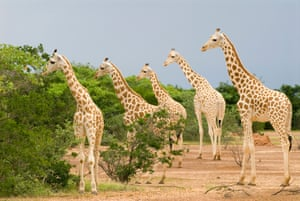 West African giraffe, a subspecies of northern giraffe, in southern Niger