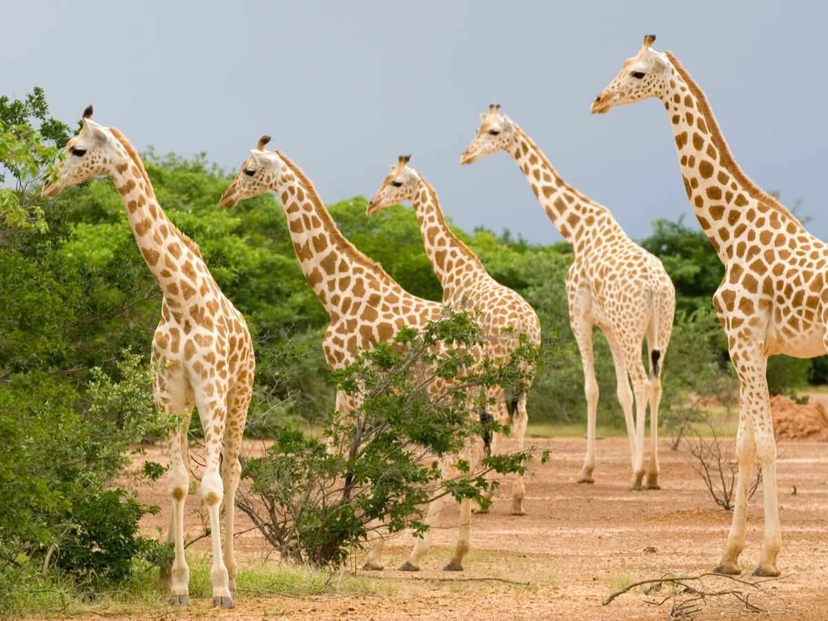 Giraffes Must Be Listed As Endangered Conservationists Formally Tell Us Endangered Species The Guardian