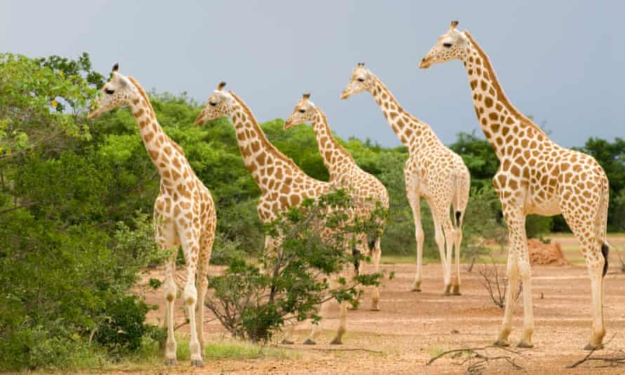 west african giragges