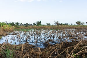 A maize field ravaged by Cyclone Idai.