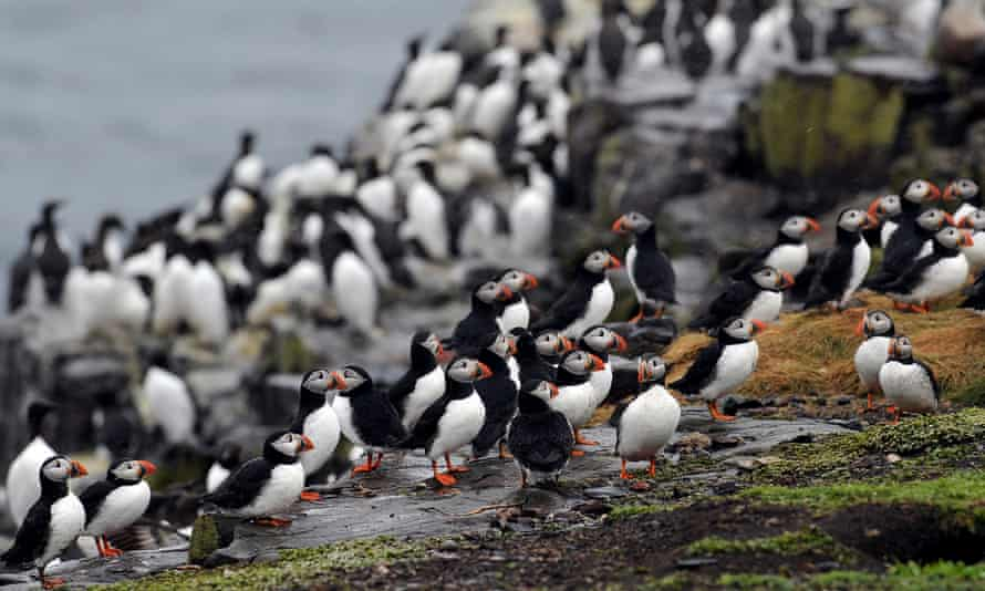 Northumberland coastal area is the third most important site for Atlantic puffins in the UK.
