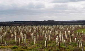 A field of saplings in plastic guards